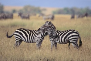 Zebras Greeting Each Other